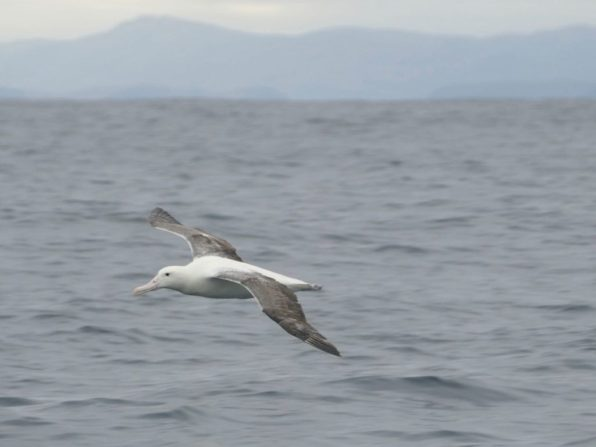 Albatros in Chilean Patagonia