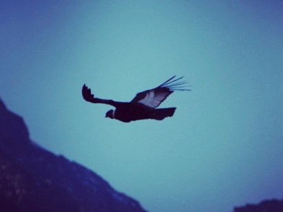 The Andes Condor can reach a wingspan of up to three metres