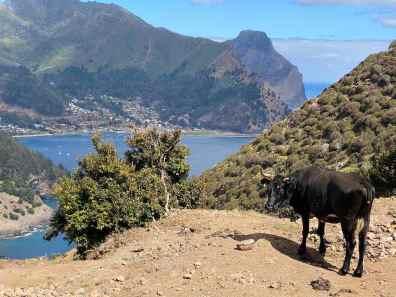 Cow on Robinson Crusoe Island