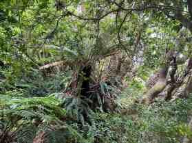 Rainforest on Robinson Crusoe Island