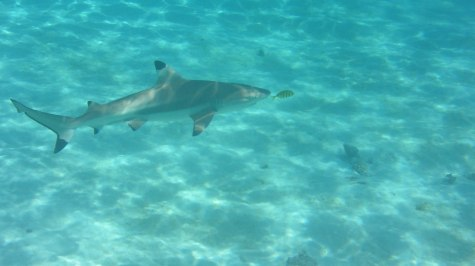 The blacktip reef sharks are harmless but nevertheless impressive