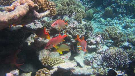 Colored fish take shelter between the corals