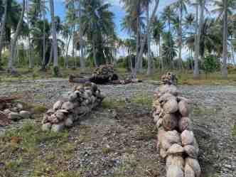 Drying coconuts at a copra plantation
