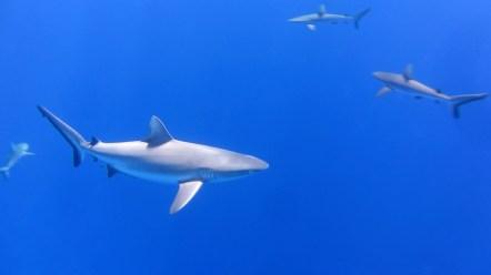 Grey reef shark coming close
