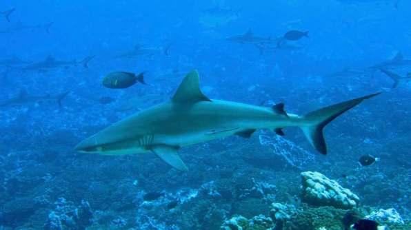 Grey reef shark undisturbed by us