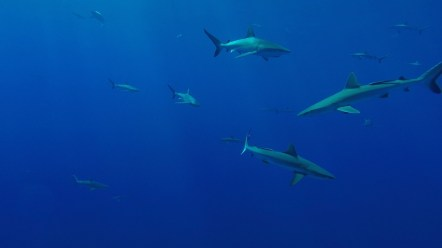 Grey reef sharks all around