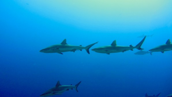 Grey reef sharks towards the surface