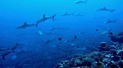 Hundreds of Grey Reef Sharks