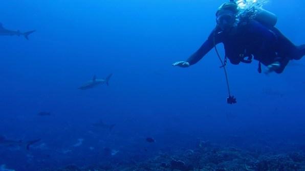 Ivar diving with grey reef sharks