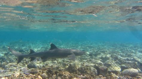 White tip reef shark in shallow water