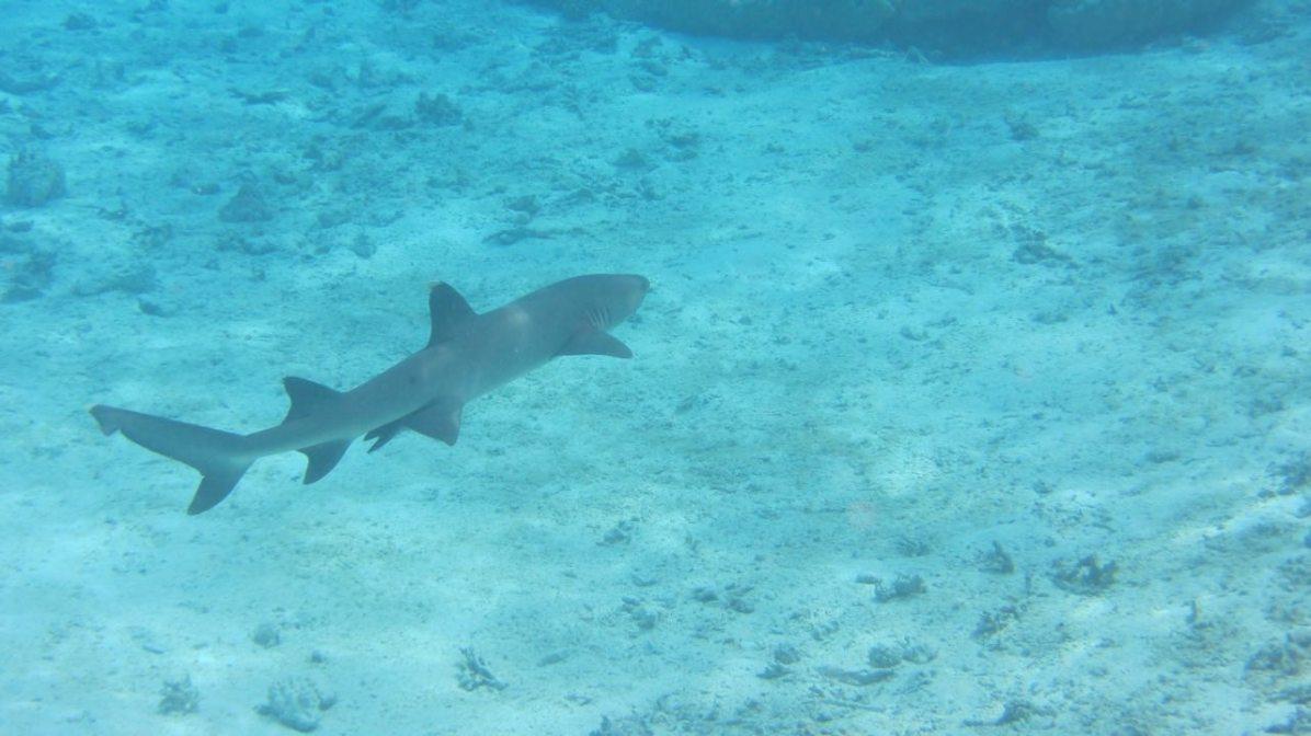 White tip reef shark swimming away