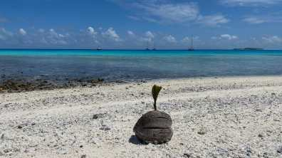Palm tree seedling growing on coral sand