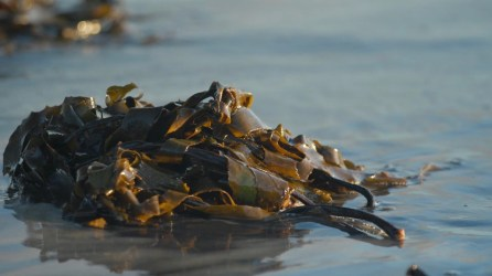 Washed-up seaweed - Picture AgriSea