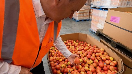 Massive amounts of imperfect apples are being rescued