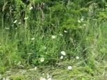 hedgerow daisies
