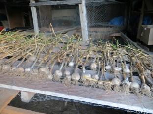 garlic harvest 004