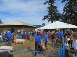 Market hog, 4-H Swine show