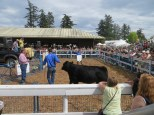 Champion steer being auctioned (approx $4.50/lb, live weight)