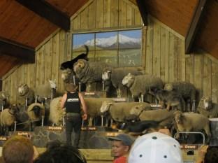 Agrodome, Rotorua NZ, 19 bfreeds of sheep, plus dogs