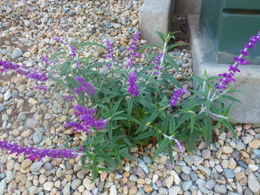 Xeriscapting Mexican Sage