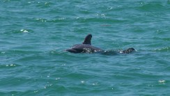 Dolphin Beak