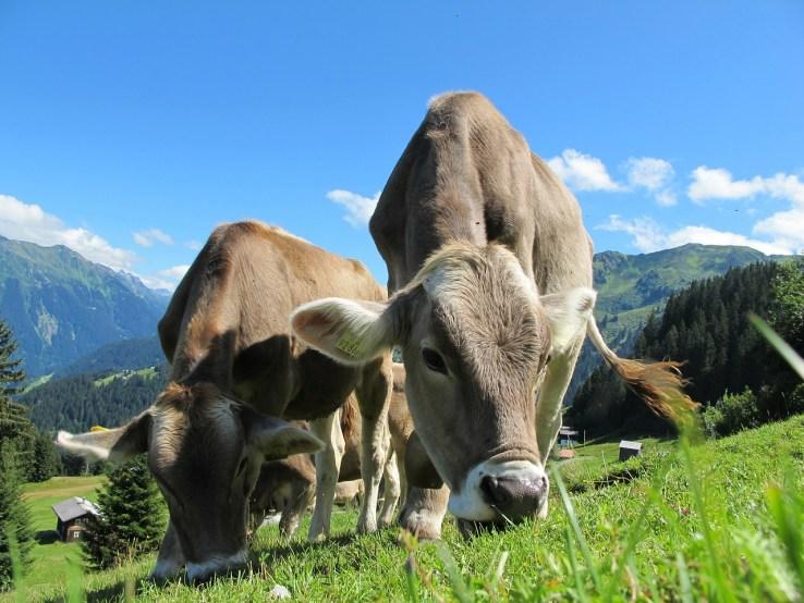 cows cow 203460 1280 1024x768 - GUIDE DU BIO  : santé & éthique
