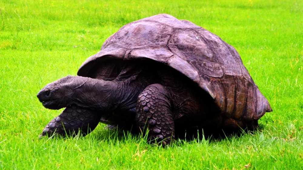 medium resolution of jonathan in the paddock saint helena island info jonathan the tortoise the world rsquo