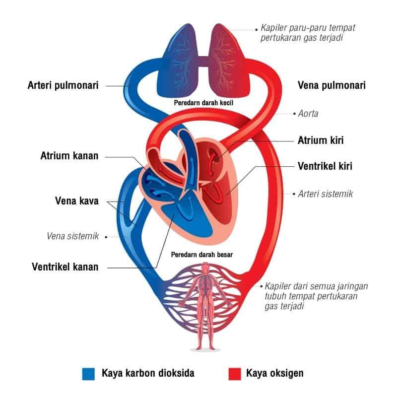 peredaran darah besar
