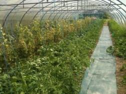 Récolte des betteraves et soins des tomates
