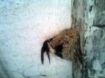 Hirondelle au nid