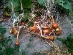 Gros oignons