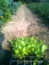 Plantation batavia Reine des glaces et mâche