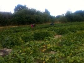 Estelle et Samuel - récolte des haricots