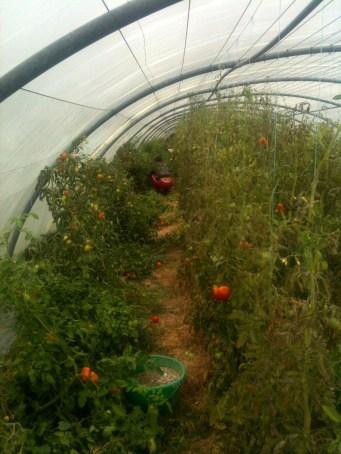 Estelle - récolte tomates