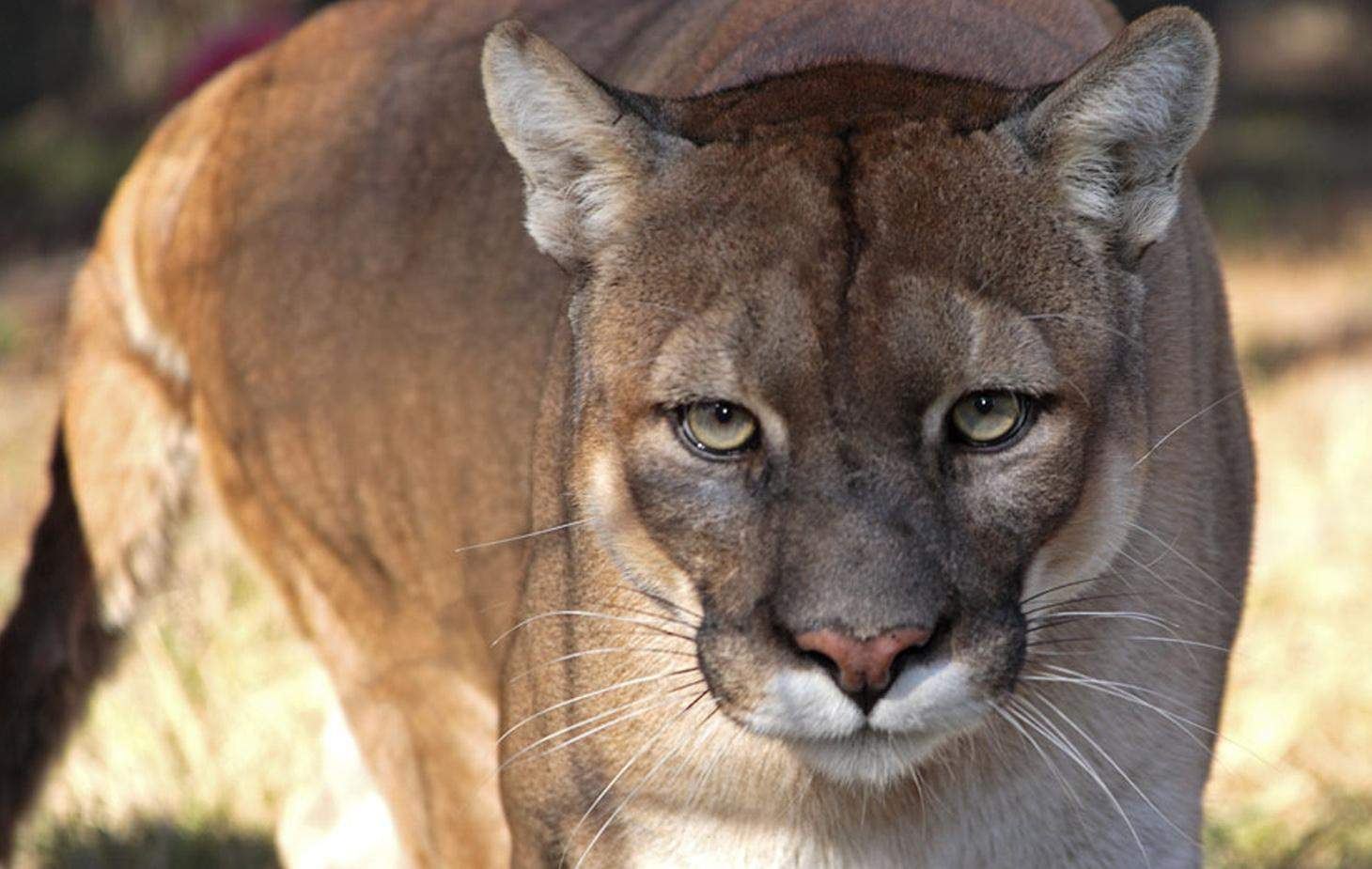 Prime Motor Group >> Environmental group says 2015 deadliest year for panthers - SaintPetersBlog
