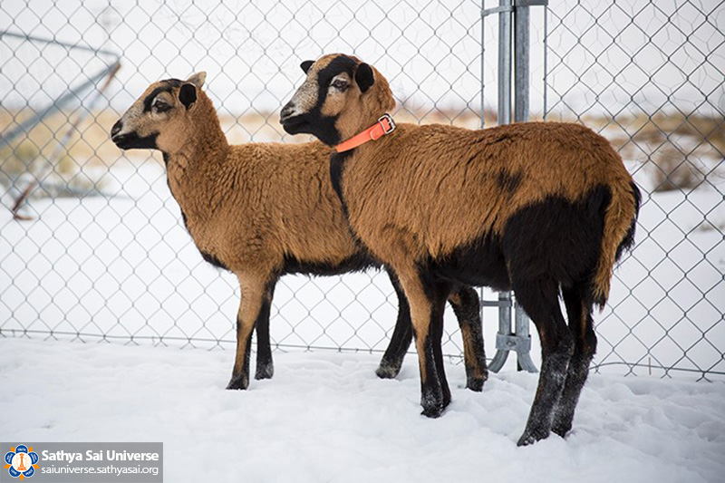 saving-animals-from-slaughter-usa-arcadia-project