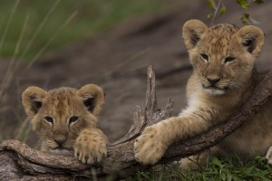 Two cub lean on a branch side by side facing the camera amongst green grass in the Masai Mara, Kenya.