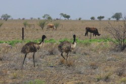 My first Emus!!!