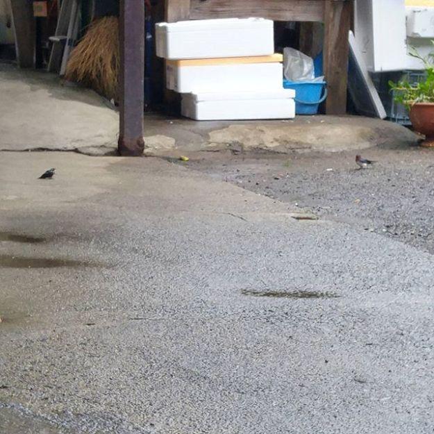 【Instagram】ツバメのひなが、おちてました(写真左)。昨日おそわれた巣のヒナでしょうか。親鳥(写真右)が来て餌を与えています。まだモワモワした毛が残っていますが、羽は随分立派で時折羽ばたかせています。