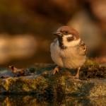 Polsko_vrabche_Iordan_Hristov_www.naturemonitoring