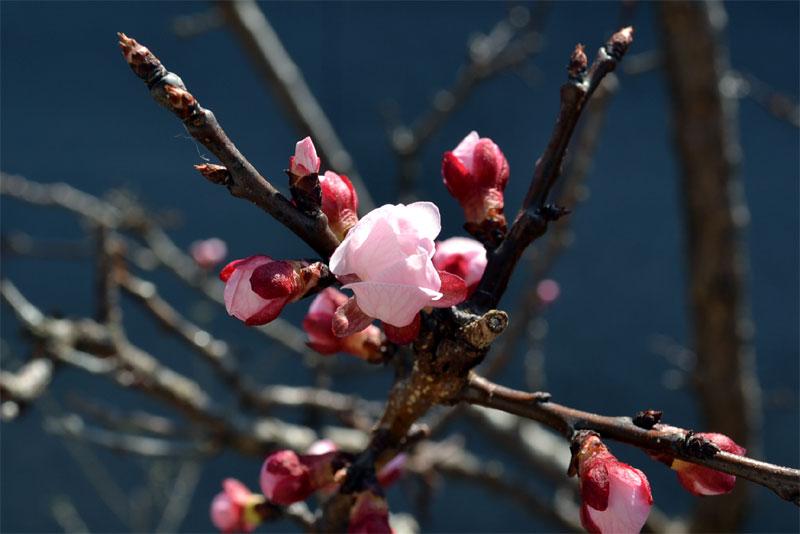 今日,花開いた杏の花だ。李の代わりのつもりだが勘弁ね。
