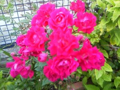 small rose