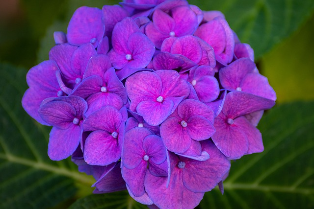 Hortensia Flowers Petals Nature  - rperucho / Pixabay