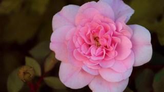 Flower Rose Wild Rose  - manfredrichter / Pixabay