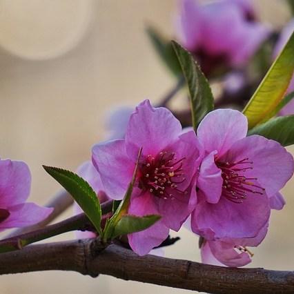 Copy Flower Spring Peach Blossom  - KOOBONSIL / Pixabay
