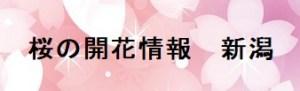 桜の開花情報新潟