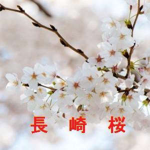 長崎の桜情報