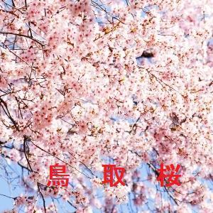 鳥取の桜情報