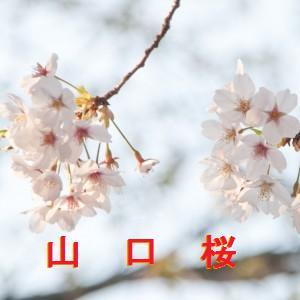 山口の桜情報