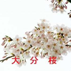 大分の桜情報